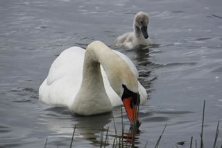 Picture of swans No 19