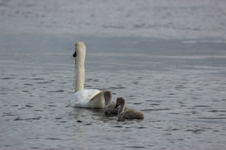 Picture of swan and cygnets on Loch Watten in Scotland - image 104