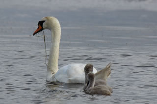 Picture of swan and 2 cygnets on Loch in Scotland - image 105