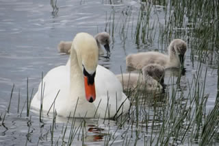 Picture of swan and cygnets on Loch in Scotland - image 106