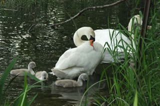 Picture of swans with cygnets on Loch in Scotland - image 107
