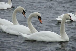 Picture of swans No 15