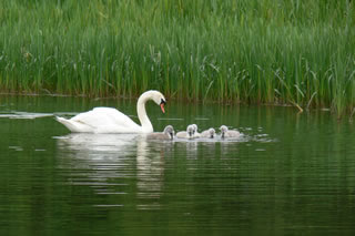 Picture of swans image set 44 - pictures, creative images and online jigsaw puzzle
