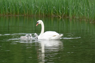 Picture of swans image set 45 - pictures, creative images and online jigsaw puzzle