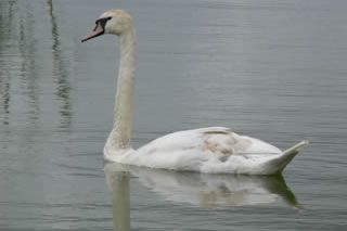 Picture of swans image set 46 - pictures, creative images and online jigsaw puzzle