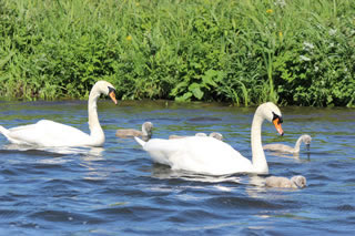 Swans on Water | Pictures of Swans No. 134 - free pictures and creative images of swans