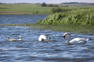 Swans on Water | Pictures of Swans No. 139 - free pictures and creative images of swans